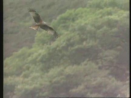 UK - Rare Red Kite Bird Hurt By Shotgun