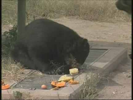 (HZ) Peru Bears