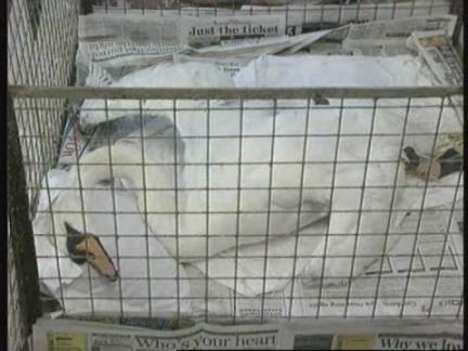 UK - Drought Bacteria Kills Country's Swans