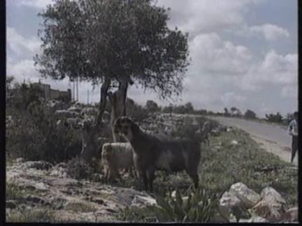 ISRAEL: WEST BANK: GOAT MILK CURE FOR IMPOTENCE