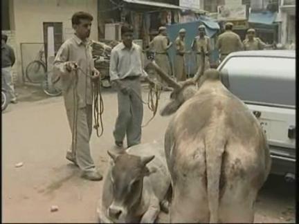 India Cattle
