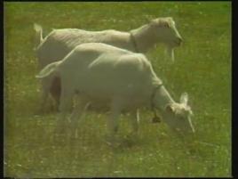 US Goats With Arthritis