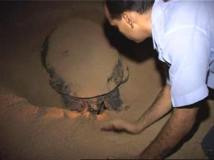 (HZ) Pakistan Turtles