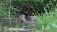 Rare footage shows two beavers 'wrestling'