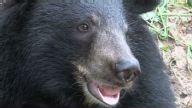 (HZ) Cambodia Bears