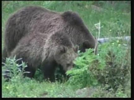 US Grizzlies
