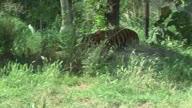 UK Tiger (NR)