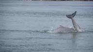 (HZ) Cambodia Dolphins
