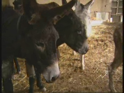 SPAIN: MADRID: DONKEYS ARE BECOMING AN ENDANGERED SPECIES