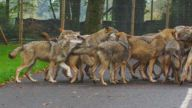 Wolves at a safari park have started HOWLING at the weekly fire alarm test - because they think it's a rival pack